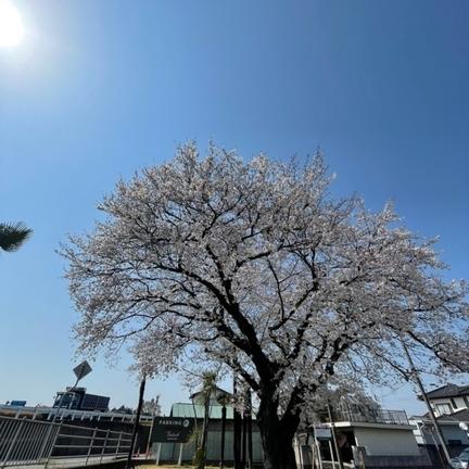 桜も満開!お花見されました?